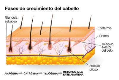 fases-crecimiento
